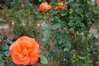 Leu Gardens roses