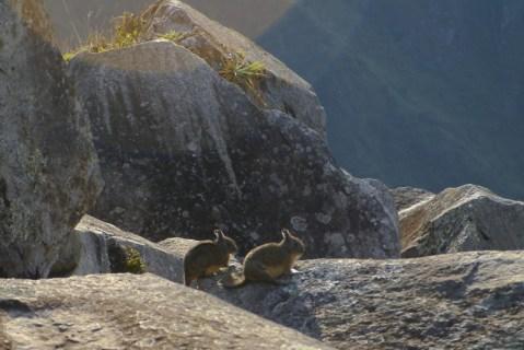 Viscacha at Machu Picchu