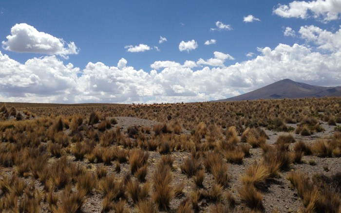 Vicuñas in Aguada Blanca