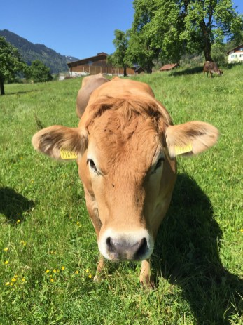 Swiss Alp Cow