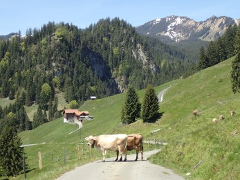 Swiss Alps, Swiss Cows