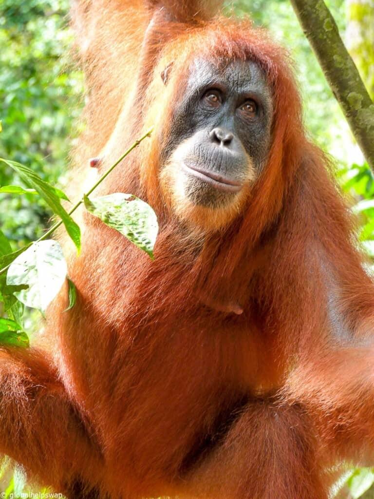 Orangutan Sumatera Observing the O...