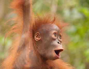 Volunteer With Orangutans At The Orangutan Foundation