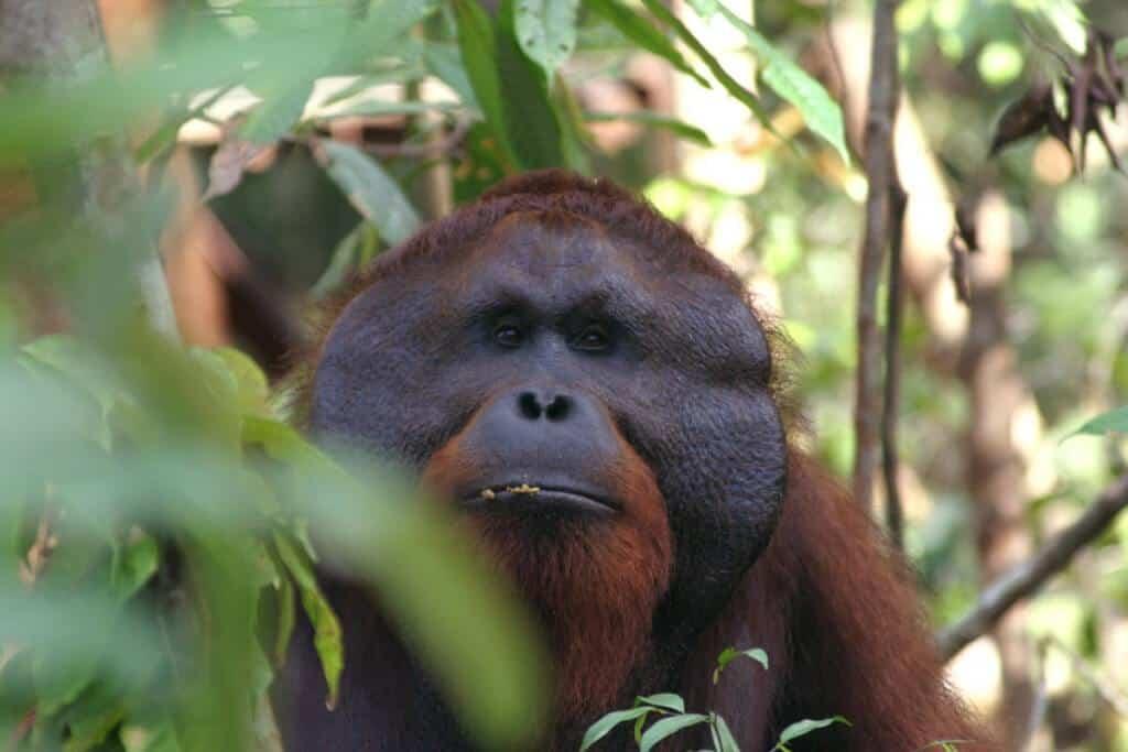 An adult orangutan