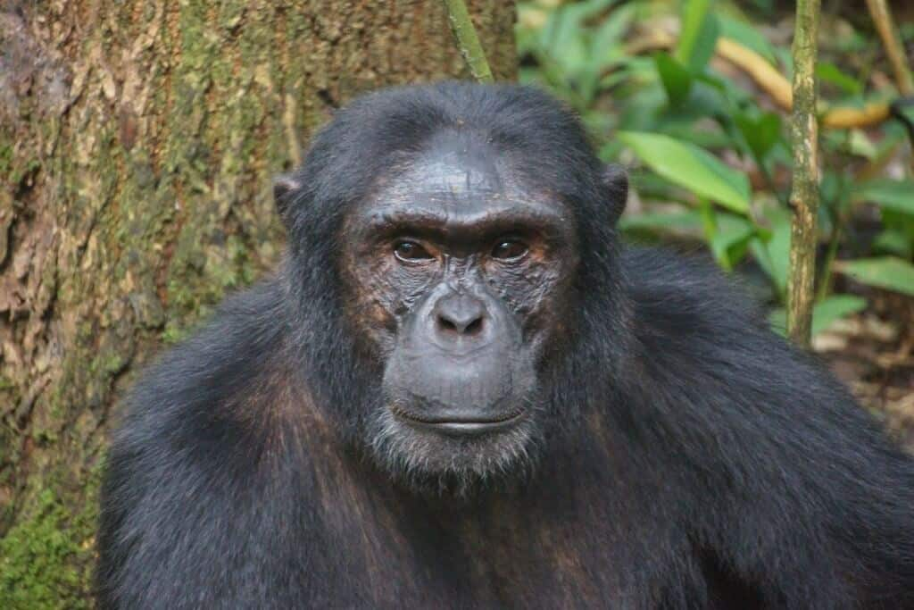 Gorillas in Uganda, Africa