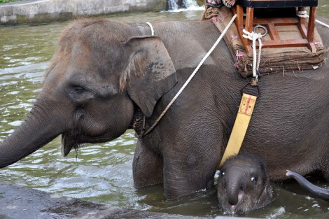 Ignorance is not Bliss: Elephant Exploitation in Asia