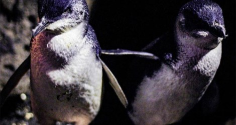Melbourne: See the Penguins on St Kilda Beach