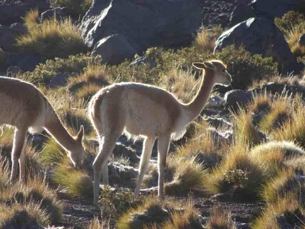 Vicunas at El Tatio - Atacama