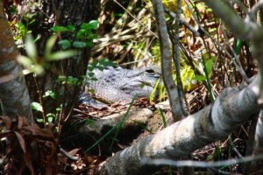 Alligators Everglades