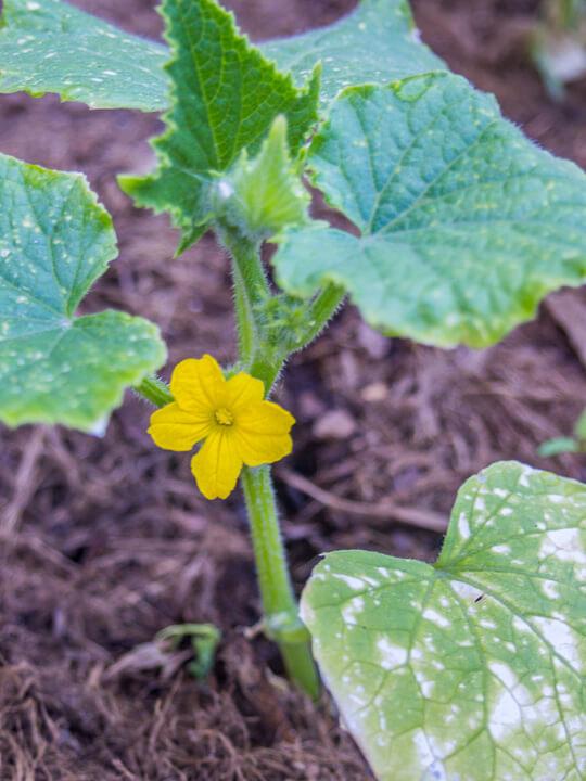 urban agriculture zucchini