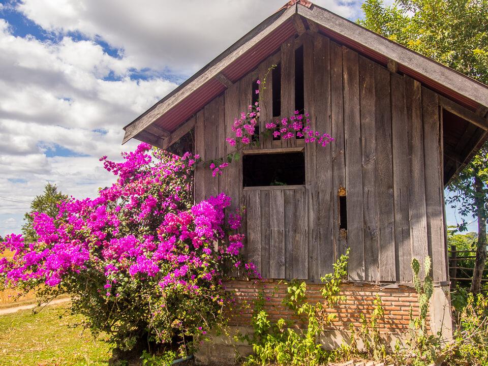 wood house pink flowers don khong laos