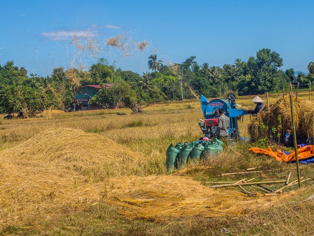 Rice Harvest -4