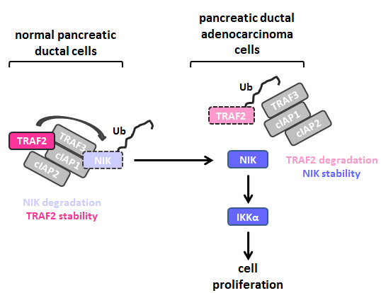 Downregulation of TRAF2 Mediates NIK-Induced Pancreatic Cancer Cell Proliferation and Tumorigenicity