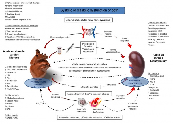 Pathophysiology of the cardiorenal syndromes: executive summary from the eleventh consensus conference of the Acute Dialysis Quality Initiative (ADQI). Global Medical Discovery