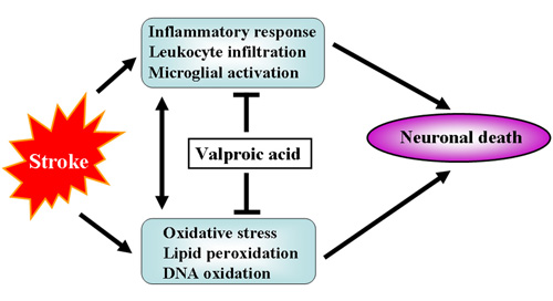 Valproic acid attenuates ischemia-reperfusion injury in the rat brain through inhibition of oxidative stress and inflammation