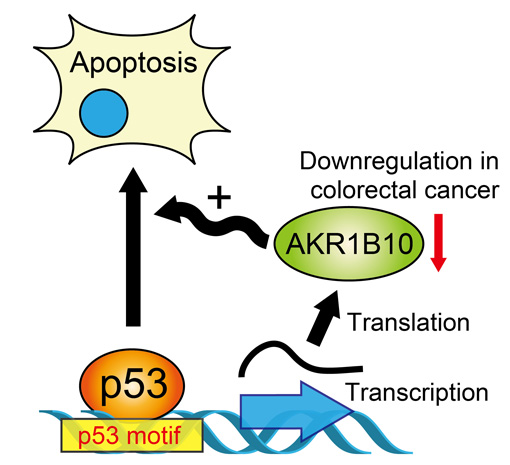 AKR1B10, a Transcriptional Target of p53, Is Downregulated in Colorectal Cancers Associated with Poor Prognosis