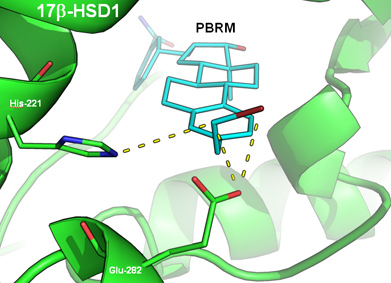 Discovery of a non-estrogenic irreversible inhibitor of 17{Beta}-hydroxysteroid dehydrogenase type 1 from 3-substituted-16{Beta}-(m-carbamoylbenzyl)-estradiol derivatives. Global Medical Discovery