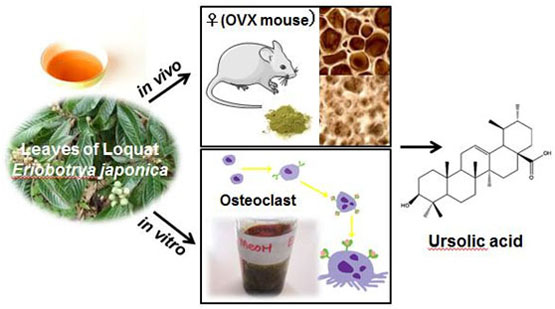 Inhibitory effects of the leaves of loquat (Eriobotrya japonica) on bone mineral density loss in ovariectomized mice and osteoclast differentiation