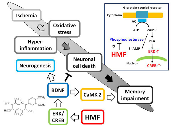 3,5,6,7,8,3',4'-Heptamethoxyflavone, a citrus flavonoid, on protection against memory impairment and neuronal cell death in a global cerebral ischemia mouse model