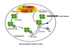 Induction of nuclear translocation of mutant cytoplasmic p53 by geranylgeranoic acid in a human hepatoma cell line. - Global Medical Discovery