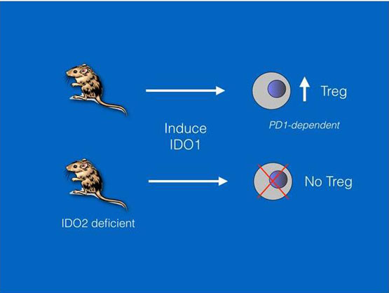 IDO2 is critical for IDO1-mediated T-cell regulation - Global Medical Discovery