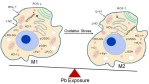 Lead modulation of macrophages causes multiorgan detrimental health effects - Global Medical Discovery