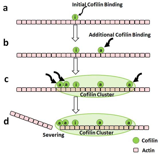 Single Molecule imaging and Kinetic Analysis of Cooperative Cofilin–Actin Filament Interactions. Global Medical Discovery