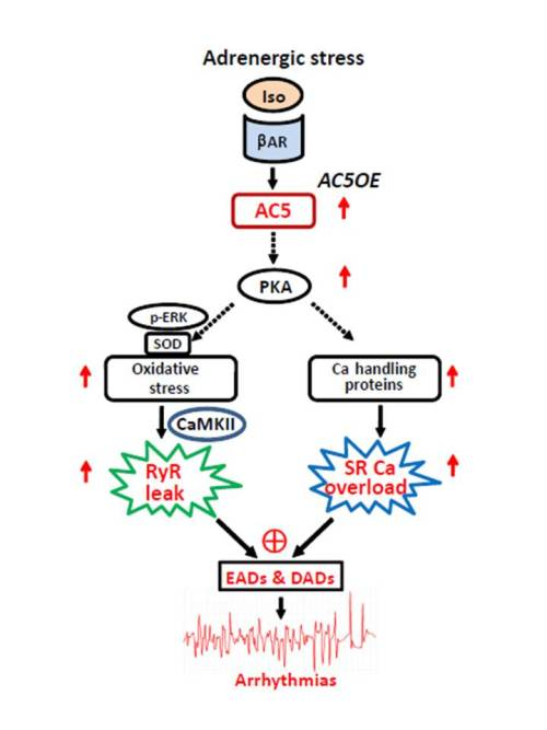 Overexpression of adenylyl cyclase type 5 (AC5) confers a proarrhythmic substrate heart. Global Medical Discovery