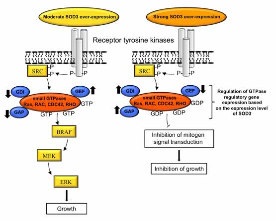 Extracellular Superoxide Dismutase Regulates the Expression of Small GTPase Regulatory Proteins GEFs, GAPs, and GDI