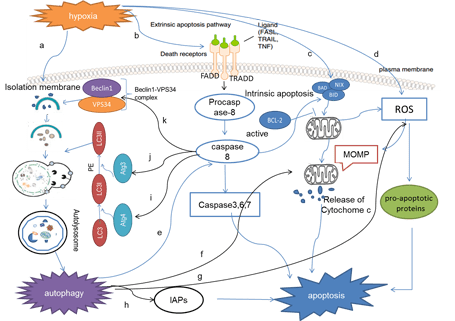 The dual role of autophagy under hypoxia-involvement of interaction between autophagy and apoptosis. -. Global Medical Discovery