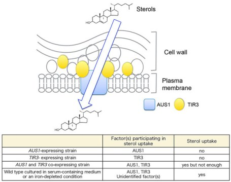 The mannoprotein TIR3 (CAGL0C03872g) is required for sterol uptake in Candida glabrata