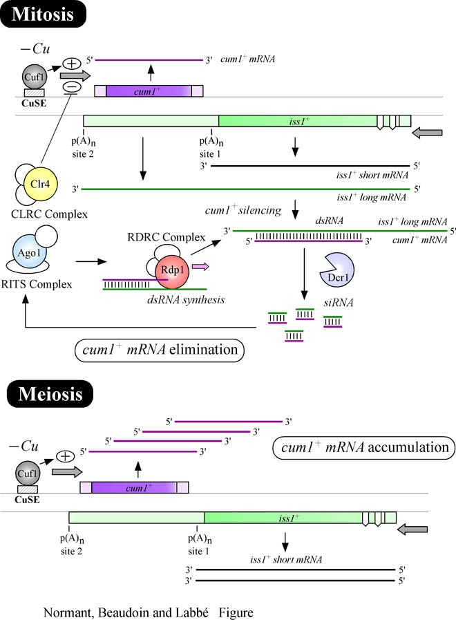 Global Medical Discovery, antisense RNA-mediated mechanism eliminates a meiosis-specific copper regulated transcript in mitotic cells
