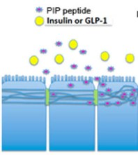 Enhanced paracellular -transport -insulin - achieved--transient induction -myosin- light- chain -phosphorylation