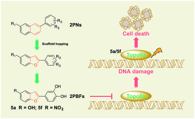 Design and synthesis of 2-phenylnaphthalenoids and 2-phenylbenzofuranoids as DNA topoisomerase inhibitors and antitumor agents.