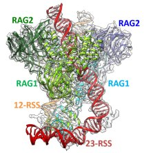 Molecular Mechanism of V(D)J Recombination from Synaptic RAG1-RAG2 Complex Structures. Global Medical Discovery feature