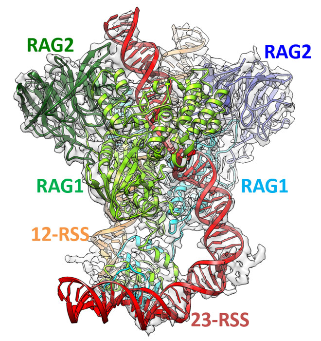 Molecular Mechanism of V(D)J Recombination from Synaptic RAG1-RAG2 Complex Structures.