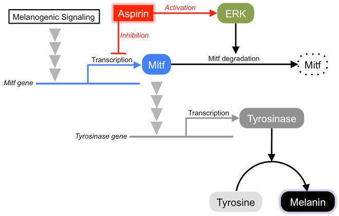 Dual effects of acetylsalicylic acid on ERK signaling and Mitf transcription lead to inhibition of melanogenesis. Global Medical Discovery