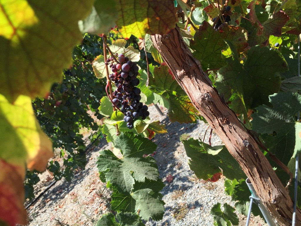 Grapes on a vine at Myrtle Creek Botanical Gardens in Fallbrook CA | Global Munchkins
