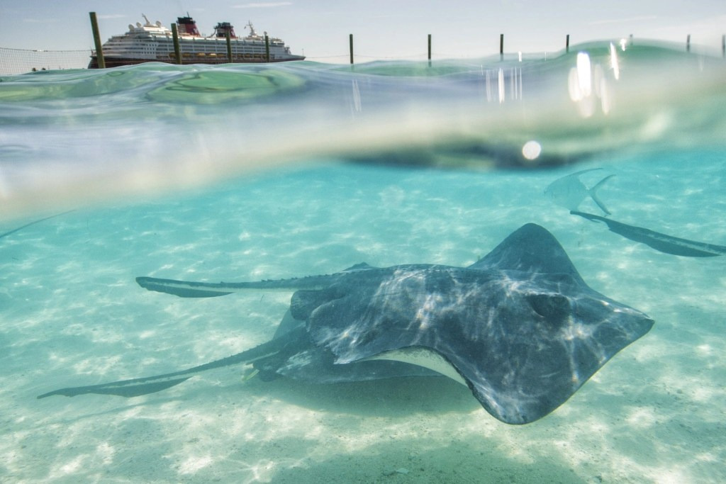 At Disney's private island paradise, Castaway Cay, guests have the exciting opportunity to swim and interact with Southern Stingrays in a private lagoon. (Matt Stroshane, photographer)