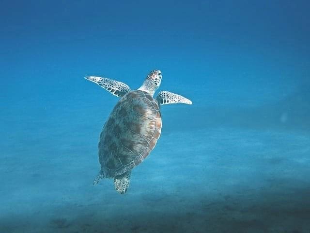 maui snorkeling - sea turtles