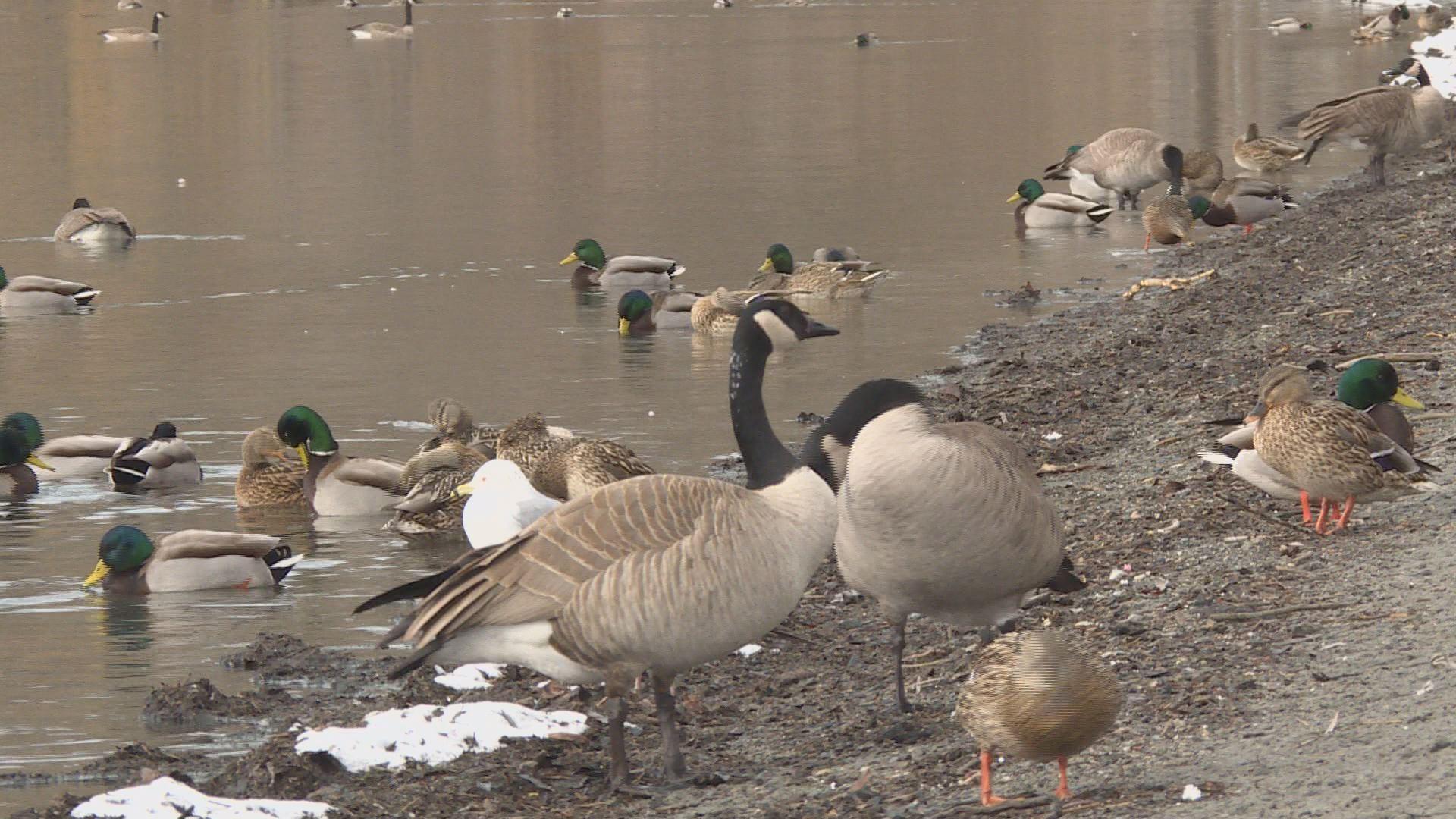 Vernon revisiting controversial goose cull proposal