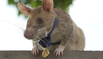 Magawa, an African giant pouched rat, is shown with its PDSA gold medal for bravery.