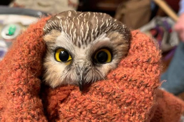 A saw whet owl is shown after it was saved from the branches of a Christmas tree at Rockefeller Center in New York City on Nov. 17, 2020.