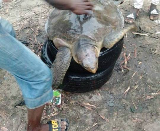 Big turtle caught in the Lekki Beach side in Lagos (Photos)