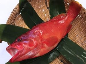 Aka Hata – Banded reef-cod Image