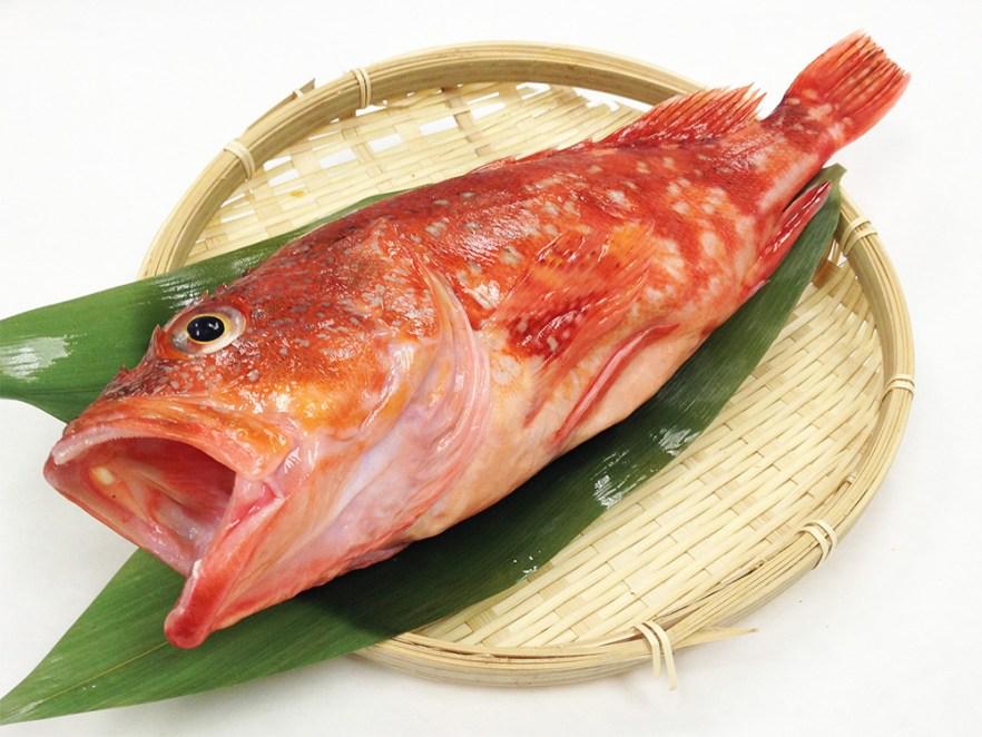 Kasago - Marbled Rockfish Image