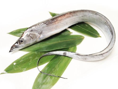 Tachiuo - Beltfish