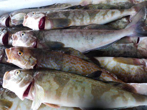 HOKKE - Okhotsk atka mackerel