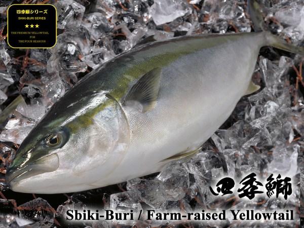buri yellowtail hamachi yellowtail