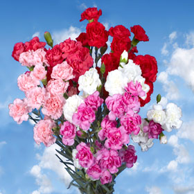 Image result for images of carnations